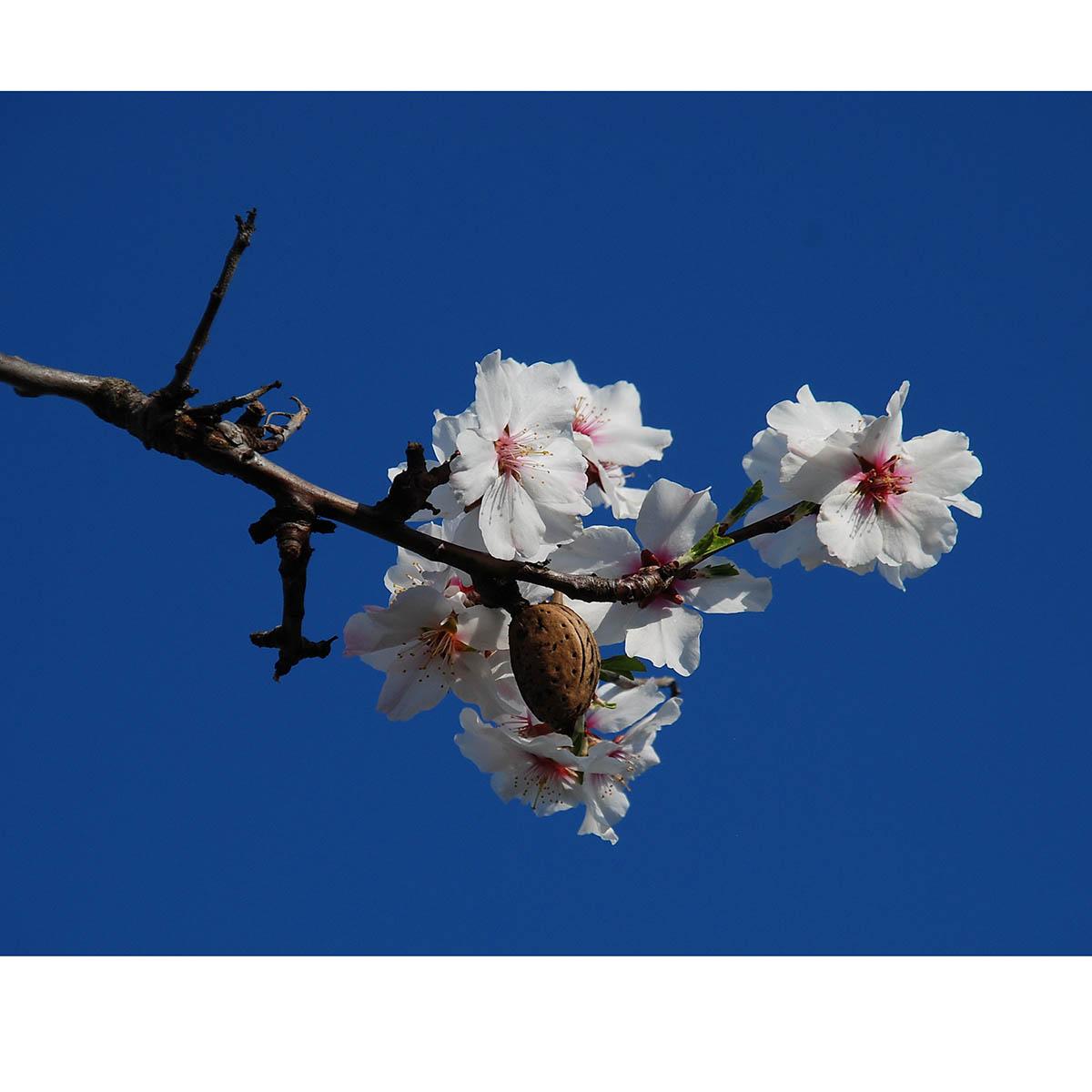 Kurt Keller: Mandelblüte in Gimmeldingen, 2020, Digitalfarbfotografie